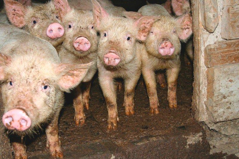 Заговоры для свиней