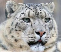 The disappearing snow leopard was photographed in Tuva