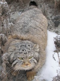 A Manul cat injured by a hawk was healed and released in Tuva