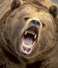 Bear which wandered into the Tuvan Capital was rabid