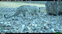 Три снежных барса, рысь и козероги попались в фотоловушки в Туве