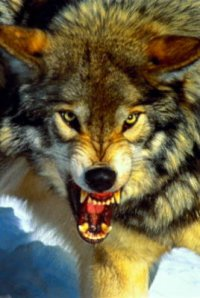 Tuvan hunters caught more than 230 wolves since the beginning of the year