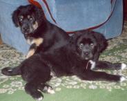 Щенки от Мугура: Ширтек и Тайжы в возрасте двух месяцев