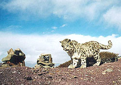 Котята снежного барса. Фото WWF