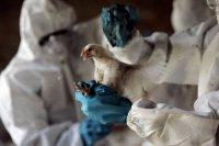 В Туве завершена утилизация тушек больных птиц