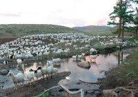 На Туву, Карачаево-Черкессию, Астраханскую область приходится 15 процентов поголовья овец и коз России
