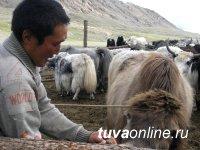 В Туве готовятся чествовать животноводов
