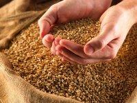 В Туве из-за позднего созревания зерновых затягивается уборка урожая