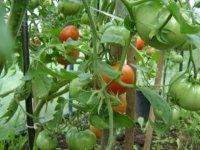 Восстановленный в Туве Тепличный комбинат выдал первую партию помидоров