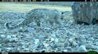 Three snow leopards, a lynx and mountain goats caught by photo-trap in Tuva