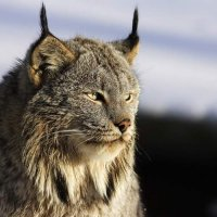 A lynx attacked a sheep barn in Tuva. 76 sheep perished