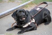 Первая в Туве собака-поводырь уедет в Хакасию служить дальше