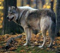 В Туве перед охотниками поставлена задача года - уничтожить 700 волков
