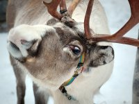 10 Northern reindeer from Tuva filled up a Khakass Zoo