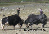 В Туве одним из основных резервов мясного скотоводства снова становятся яки