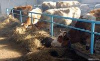 Туве выделено 47,7 млн. рублей на развитие мясного скотоводства