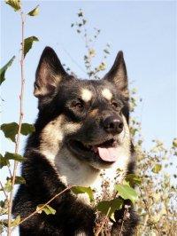 В Туве на выставке охотничьих собак лучшей признана лайка известного камнереза, лауреата Государственной премии России