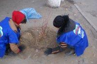 В Туве завершена осенняя посадка деревьев