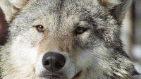Охотники Тувы уничтожили в 2011 г рекордное число волков - 669 особей