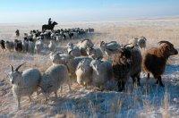 В Туве, несмотря на обильные снегопады, зимовка скота проходит стабильно