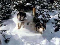 В Туве в 2011 году волки уничтожили около 4500 голов скота