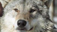 В Туве продолжаются нападения волков на отары