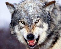 В Туве бешеный волк покусал жителей поселка Мугур-Аксы