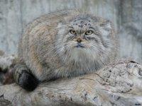 Проект «Дикие кошки Южной Сибири» в течение года будет реализовываться в Туве