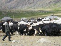 В Туве создается предприятие по переработке молока яков