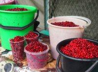 Жители Хакасии предпочитают собирать бруснику в Туве