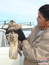 Тува. Освобожденные соколы-балобаны выпущены на волю. Часть птиц не смогла взлететь