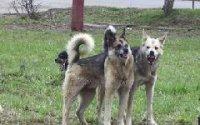 В столице Тувы начинают отлов бродячих собак