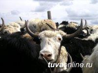 В Туве участники программы «Начинающий фермер» кроме КРС и МРС закупают яков и кроликов