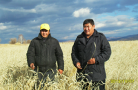 В Туве убрано более половины площадей зерновых культур