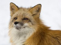 В Туве возбудители бешенства были выявлены в рыси и лисице