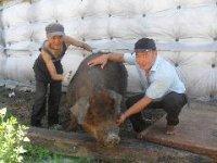 Чистокровный дюрок в Туве