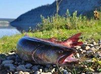 В Туве задержан рыбак, поймавший сетями в период нереста занесенного в Красную книгу тайменя