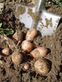 В Туву привезли зараженный картофель из Красноярского края