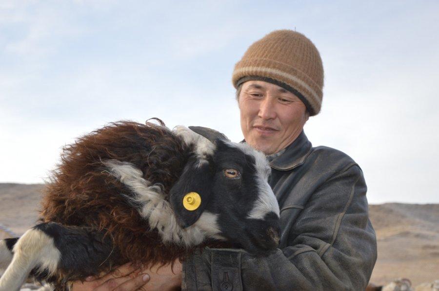 Тувинские овцы фото и описание