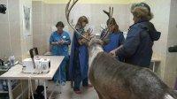 Северному оленю из Тувы сделали операцию в Новосибирске