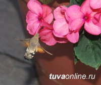 Комиссия конкурса «Кызыл – территория чистоты» встретила колибри