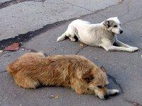 В Кызыле усиливают меры по отлову бродячих собак