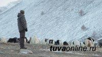 """Цикл телепрограмм """"Про животных и людей"""" начнется с монгун-тайгинских сарлыков и чабанов Тувы"""
