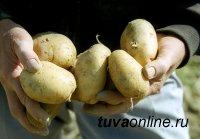 Детские сады Кызыла обеспечат местным картофелем