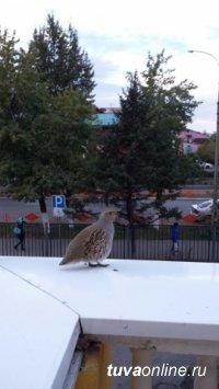 Жительница Кызыла заметила появление в столице Тувы дикой куропатки
