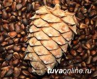 Шивилиг: 4,8 тонн кедрового ореха без карантинных сертификатов