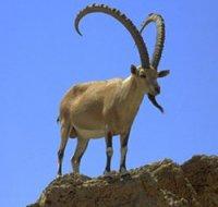В Чаа-Хольском районе Тувы продлен запрет охоты на сибирского козерога