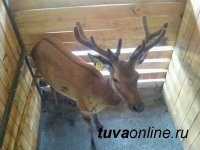 В мараловодческом хозяйстве Тувы продолжается заготовка кормов для животных