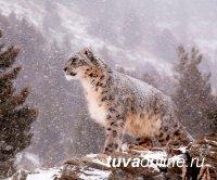 В Международный день снежного барса опубликован доклад: животное под угрозой
