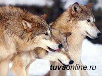 В Туве  удалось вдвое снизить численность волков